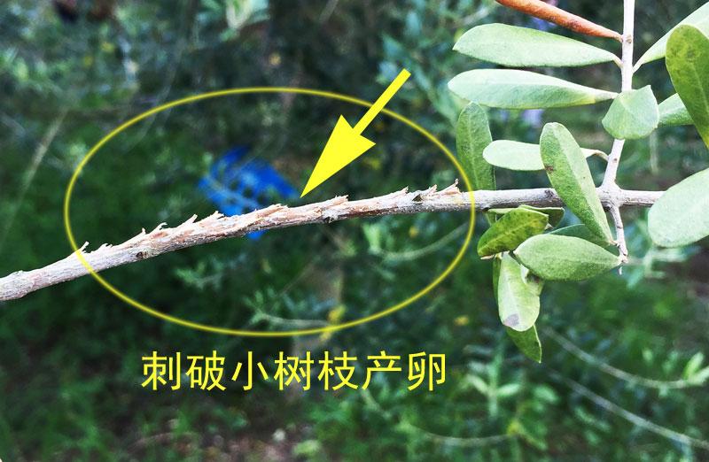 IMG_5243疑似蚱蝉树枝产卵.jpg